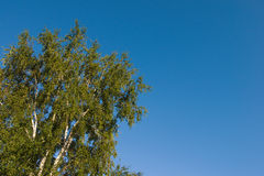 Corona del árbol en el cielo azul Imagenes de archivo