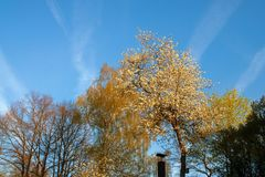 Corona del árbol en el cielo con las líneas de los aviones Imagenes de archivo