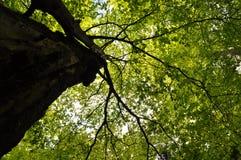 Corona del árbol forestal Fotografía de archivo