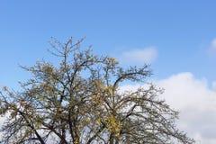 Corona del árbol muerto Fotos de archivo