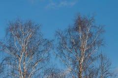 Corona del abedul en un fondo del cielo azul de abril Foto de archivo libre de regalías