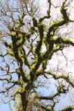 Corona del alto árbol Imagen de archivo libre de regalías