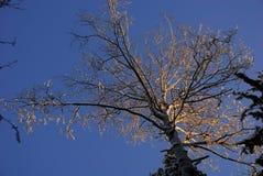 Corona dell'albero alla luce di tramonto Immagini Stock Libere da Diritti