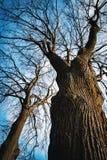 Corona dell'albero senza foglie fotografia stock