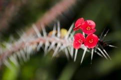 Corona della pianta delle spine Fotografie Stock Libere da Diritti