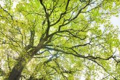 Corona della quercia con il fogliame fresco di verde della molla fotografia stock