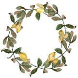 Corona delle foglie dell'acacia in uno stile dell'acquerello Fotografie Stock