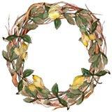 Corona delle foglie dell'acacia in uno stile dell'acquerello Fotografie Stock Libere da Diritti