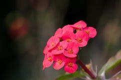 Corona delle spine, spina di Cristo Rosa del deserto (rosa del deserto) Fotografia Stock Libera da Diritti