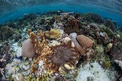 Corona delle stelle marine delle spine che si alimentano scogliera bassa Immagini Stock Libere da Diritti