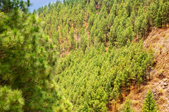 Corona Forestal in Teide National Park at Tenerife Stock Images