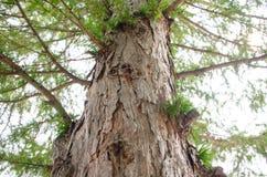 Corona gruesa del árbol de pino de la opinión del botón Imagenes de archivo