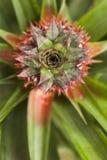 Corona hermosa deshecha madura de la piña Imagen de archivo libre de regalías