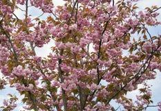 Corona que florece suavemente Sakura rosado en un parque de la ciudad fotografía de archivo