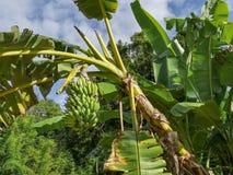 Corona salvaje del árbol de plátano en las zonas tropicales con un manojo de plátanos que cuelgan abajo, fondo tropical hermoso c Fotos de archivo libres de regalías