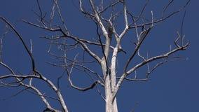 Corona sfrondata dell'albero asciutto contro chiaro cielo blu video d archivio