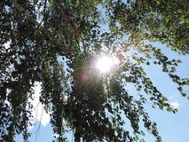 Corona verde de un abedul Foto de archivo libre de regalías