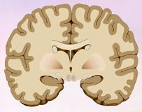 Coronal cut of the human brain in which we can see the brain composed of two halves, one right and one left, in this illustration. Coronal section of the human royalty free illustration