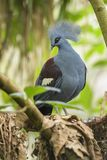 Coronar-paloma de Victoria - Goura Victoria foto de archivo