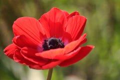 Coronaria Anemone ή anemone παπαρουνών Στοκ Εικόνες