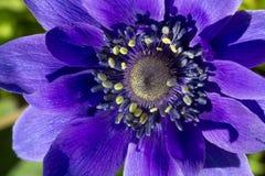Coronaria Anemone ή anemone παπαρουνών Στοκ φωτογραφίες με δικαίωμα ελεύθερης χρήσης