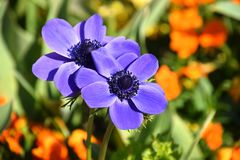 coronaria anemone δύο στον κήπο, το anemone παπαρουνών, windflower, ή ισπανικό marigold Στοκ Εικόνες