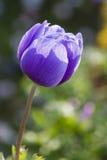 Coronaria Anemone στον κήπο Στοκ Εικόνες