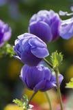 Coronaria Anemone στον κήπο Στοκ φωτογραφίες με δικαίωμα ελεύθερης χρήσης