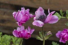 Coronaria Anemone στον κήπο Στοκ Φωτογραφίες