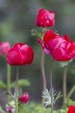 Coronaria Anemone στον κήπο Στοκ εικόνα με δικαίωμα ελεύθερης χρήσης