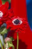 Coronaria Anemone στον κήπο Στοκ φωτογραφία με δικαίωμα ελεύθερης χρήσης