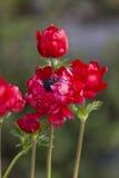 Coronaria Anemone στον κήπο Στοκ εικόνες με δικαίωμα ελεύθερης χρήσης