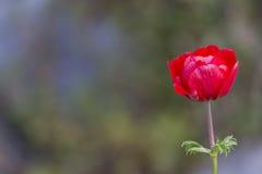 Coronaria Anemone στον κήπο Στοκ Εικόνα