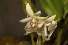 Coronaria de Eria, espécie de orquídea Vila de Durgapur fotografia de stock