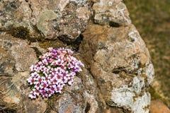 Coronaria de musgo en Islandia Fotografía de archivo