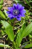 Coronaria dell'anemone o anemone del papavero Immagini Stock Libere da Diritti