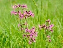 Coronaria flos-cuculi flowers Royalty Free Stock Photos