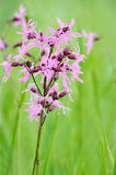 Coronaria flos-cuculi (Lychnis flos-cuculi) flower Stock Photo