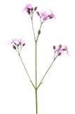 Coronaria flos-cuculi Lychnis flos-cuculi flower Royalty Free Stock Image