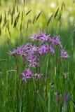 Coronaria flos-cuculi (Lychnis flos-cuculi) flowers Stock Images