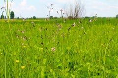 Coronaria flos-cuculi Lychnis flos-cuculi flowers Stock Photography