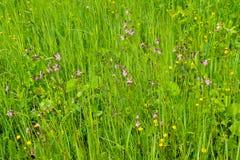 Coronaria flos-cuculi Lychnis flos-cuculi flowers Royalty Free Stock Images