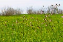 Coronaria flos-cuculi Lychnis flos-cuculi flowers Stock Photo