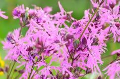 Coronaria flos-cuculi (Lychnis flos-cuculi) flowers. Selective focus, close up view Royalty Free Stock Photo