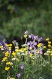 Coronaria roja en Escocia Fotos de archivo
