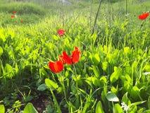 Coronarias Calanit Anemone στον τομέα στοκ φωτογραφίες