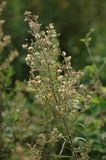 Coronarium de chrysanthème image stock