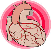 Coronary Arteries. Diagram of the course of the coronary arteries of the human heart Stock Images