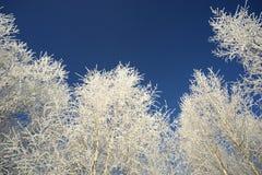 Coronas blancas de abedules contra el cielo azul Fotos de archivo