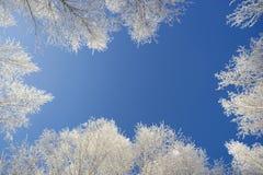 Coronas blancas de abedules contra el cielo azul Foto de archivo